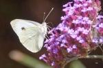 Papillon-01-web.jpg
